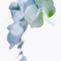 How to Grow Eucalyptus Trees in Florida