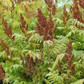 Types of Sumac Trees