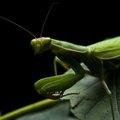 How to Get Rid of a Praying Mantis