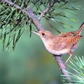 What Birdseed Do You Feed Wrens?