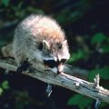 How to Keep Raccoons From Walking on Fences