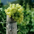 How to Make Sour Grapes Sweet