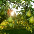 About Ure Pear Trees