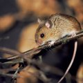 How to Keep Mice Out of Duct Work and Crawl Spaces
