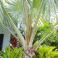 How to Prune a Bismarck Palm