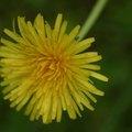 Characteristics of a Dandelion