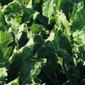 What Can I Put on the Turnip Greens in My Garden to Keep the Bugs Off?