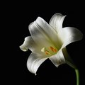 Harmful Effects of Pollen From Lilies