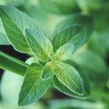 How to Care for a Chocolate Mint Plant