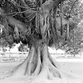 How to Start a Banyan Tree From Seed