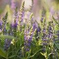 Does Lavender Die in the Winter?