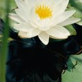 The Characteristics of a Water Lily