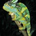 How to Get Rid of Chameleons