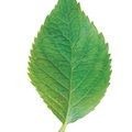 Tooth Leaf Identification Guide