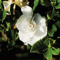The Best Location to Plant a Gardenia Bush