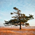 Do Pine Trees Have a Taproot?