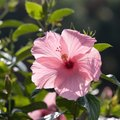 How to Prune a Hibiscus in Florida