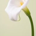 How to Dry Calla Lily Flowers