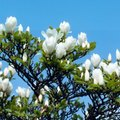 The Growth Rate of Little Gem Magnolias