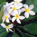 When Does Plumeria Bloom?