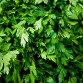 How to Store Cilantro in the Refrigerator