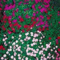 How to Get Impatiens to Bloom