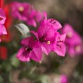 The Danger of Bougainvillea Thorns