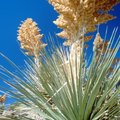 Plants Similar to a Yucca