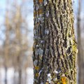How to Rid a Tree of Lichens