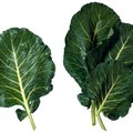 Differences Between Collard Greens & Mustard Greens