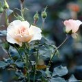 My Knock Out Rose Bush Is Dying