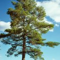 Pine Tree Fungus Cure