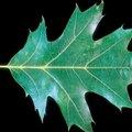 A Comparison of Oak Trees