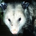 How to Get a Possum Out of My Attic