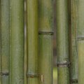 How to Kill Bamboo Permanently