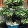 How & When to Prune a Ming Aralia