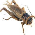 How to Kill Crickets Behind Appliances in Walls