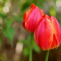 How to Take Care of Tulips After Blooming