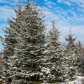 Chemicals That Kill Evergreen Trees