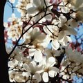 Why No Blossoms on My Flowering Cherry Tree?