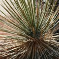 Should Yucca Plants Be in the Sun or Shade?