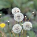 How Long Do Dandelions Take to Go to Seed?