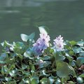 When Do Water Hyacinths Bloom?