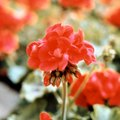 How to Use Hardy Geraniums As Cut Flowers