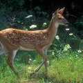 How Soon Do Male Deer Grow Antlers?