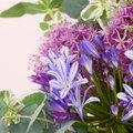Is Agapanthus the Same Family As Allium?
