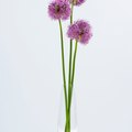 How to Force Allium Bulbs