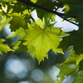 What Is the Habitat of a Maple Tree?