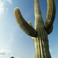 How to Care for a Saguaro Cactus Indoors