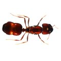 How to Destroy Ant Colonies Naturally